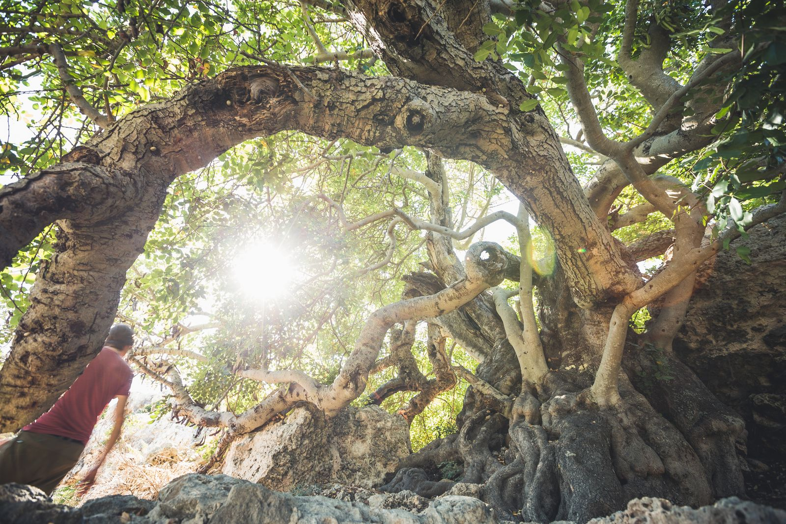 Outdoor-Malta19JPG-2 ältester Baum - Johannisbrotbaum auf dem Xemxija Heritage Trail