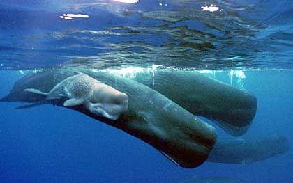 Pottwal-Kalb an der Seite seiner Mutter: Vor Dominica leben das ganze Jahr rund 30 der riesigen Meeressäuger