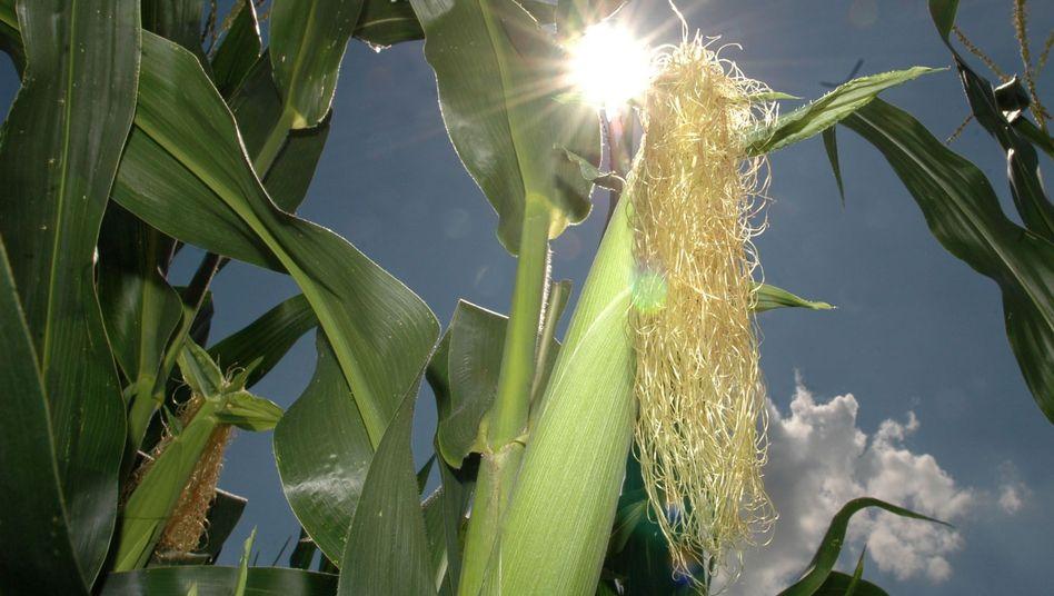 Maisfeld: Große Monokulturen sind im Zuge des Biogasbooms entstanden