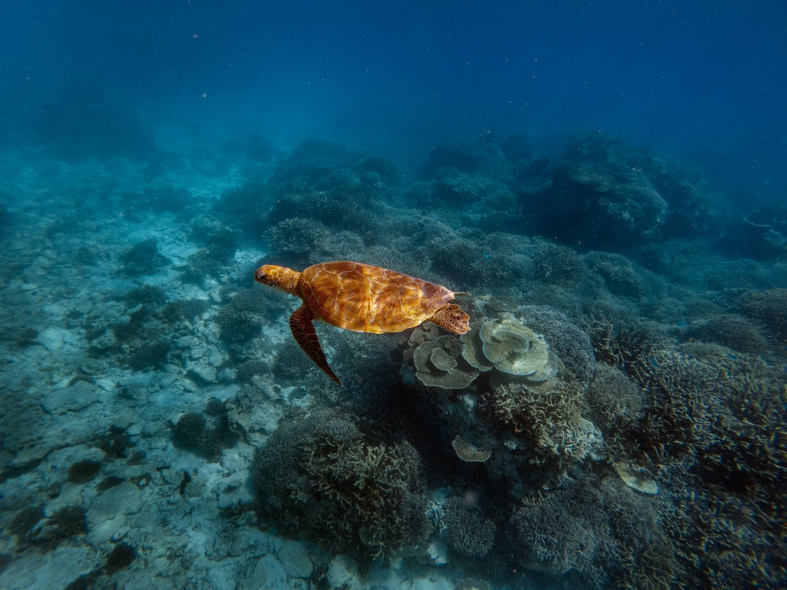 A green sea turtle is flourishing among the corals at lady