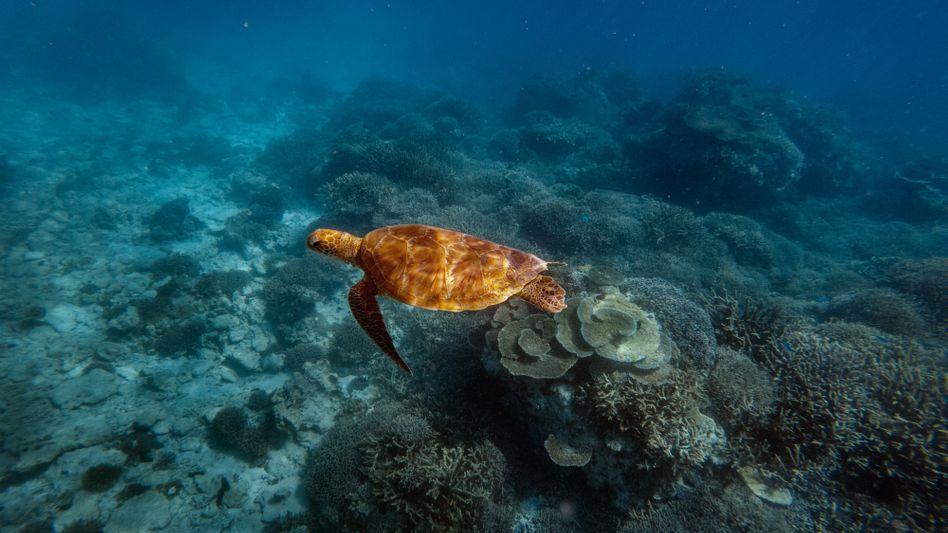 Meeresschildkröte: Der aktuelle IPBES-Bericht zur Artenvielfalt zieht traurige Bilanz