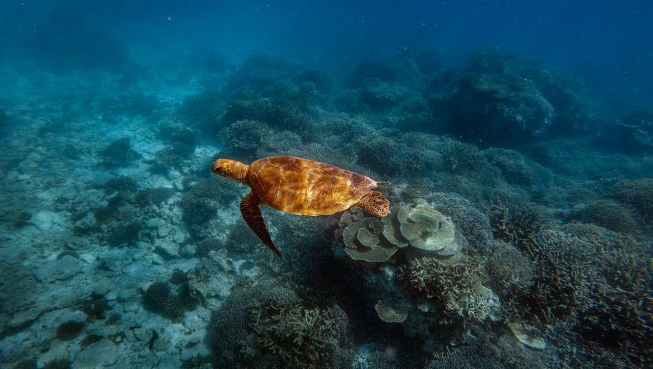 Meeresschildkr??te: Der aktuelle IPBES-Bericht zur Artenvielfalt zieht traurige Bilanz