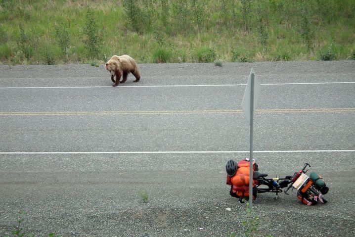 Zweite Bärenbegegnung, diesmal ein Grizzly