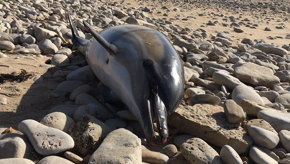 Toter Delfin am Atlantikstrand von Rivedoux im Departement Charente-Maritime