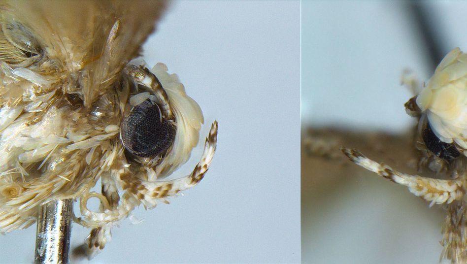 Kopf einer männlichen Motte Neopalpa donaldtrumpi