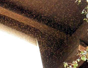 Fliegen-Invasion: Zwei Millimeter kleine Insekten in jeder Ritze