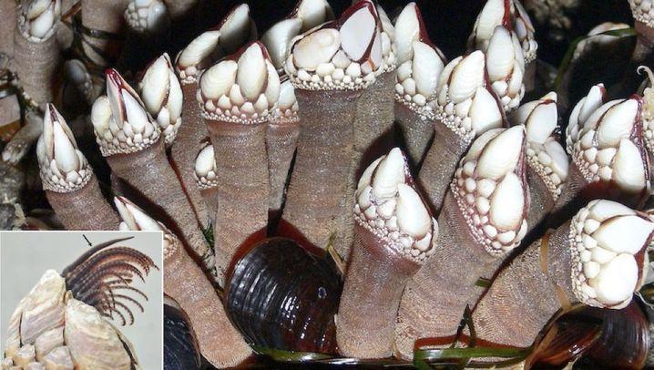 Entenmuscheln: Weder Ente noch Muschel