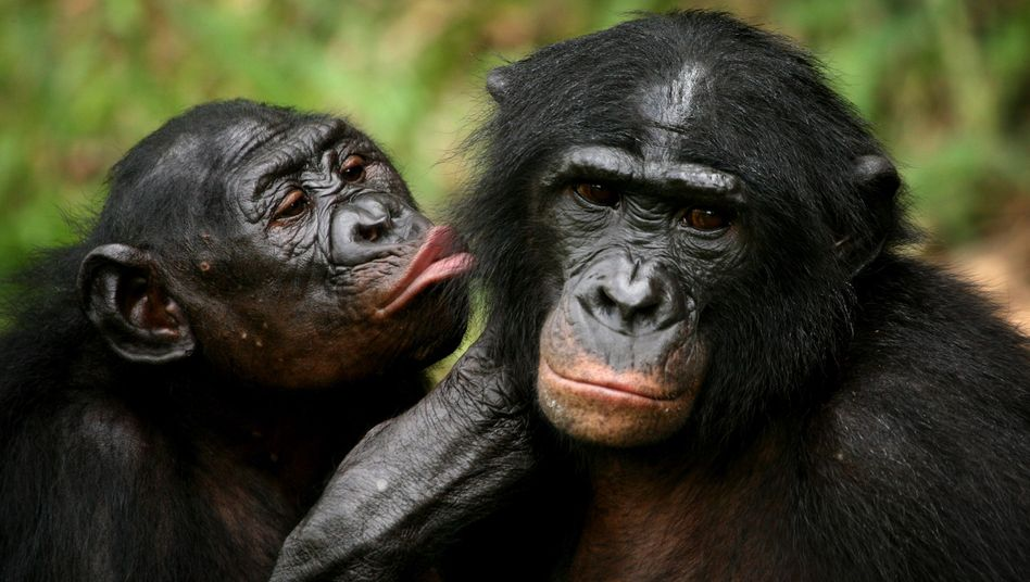 Bonobos: Haste mal eine Banane?