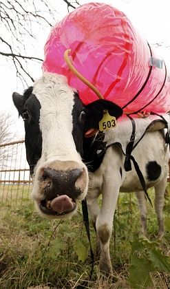 A cow being measured for emissions. Cattle may be gentle creatures but farming them is contributing to climate change, says consumer group Foodwatch.