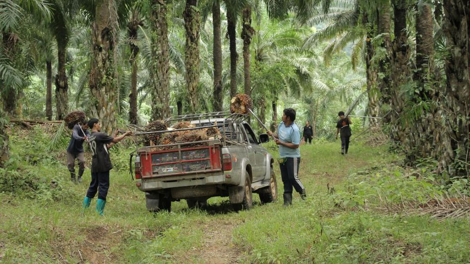 The harvesting of palm oil seeds in Thailand