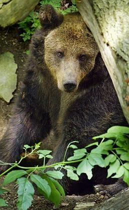 This brown bear may look coy, but don't be fooled by the shy Lady Diana gaze. She is more of a goer than you'd think.