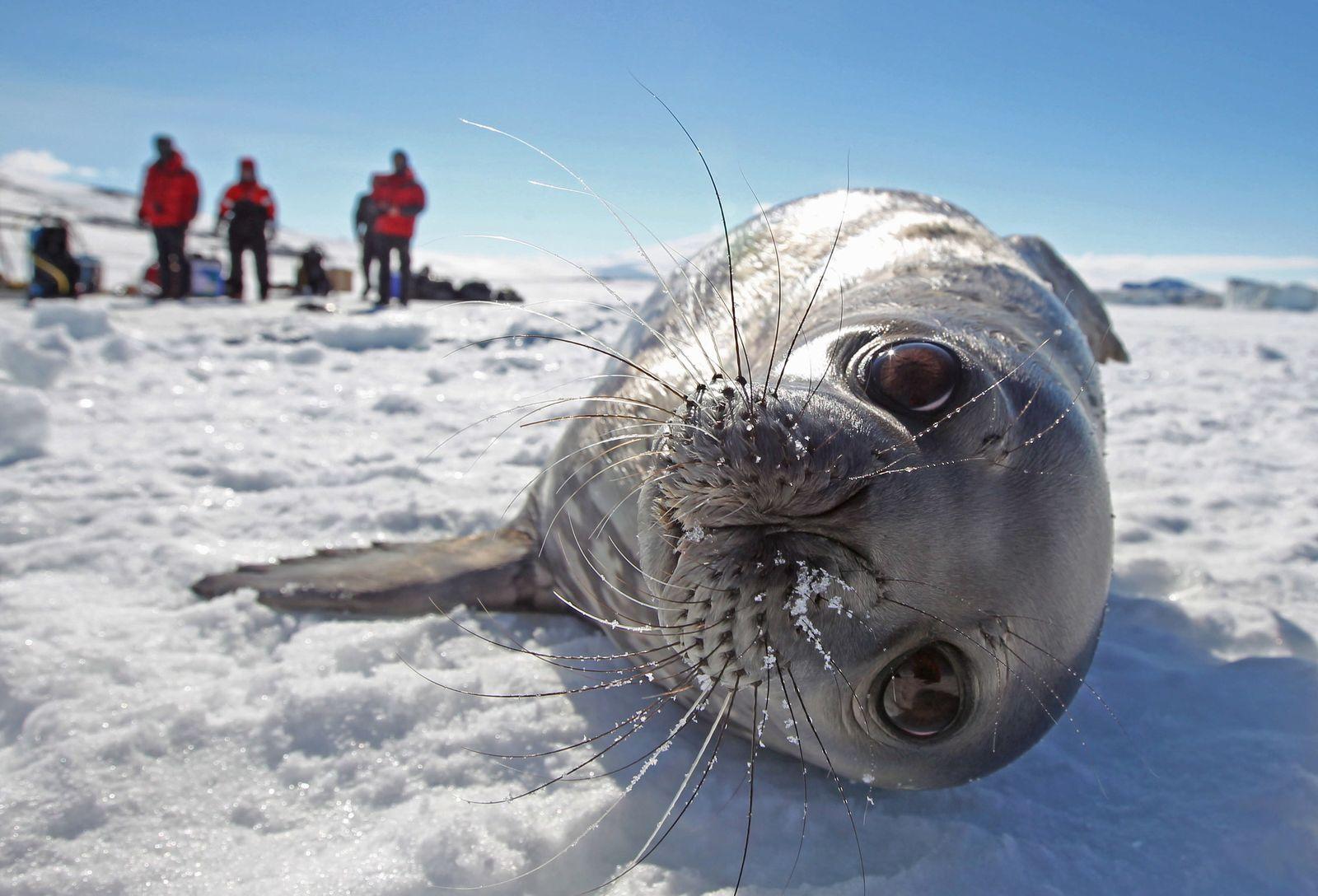 Weddellrobbe in der Antarktis