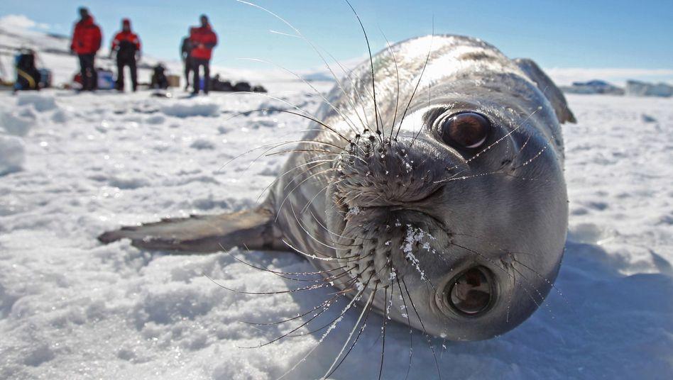 Eine Weddellrobbeund Antarktisforscher (Archivbild)