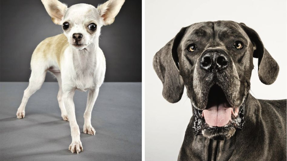 Rassehunde Chihuahua, Dogge