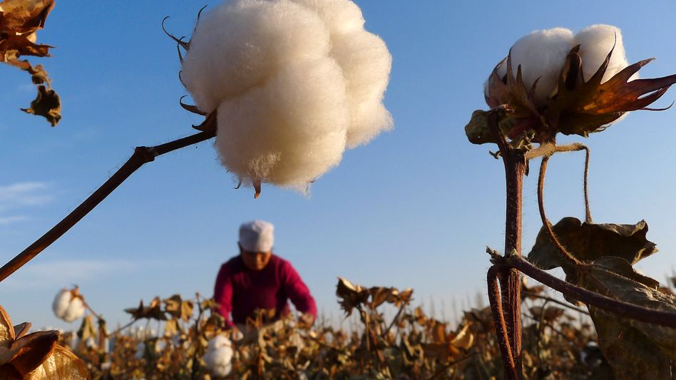 Baumwollfeld in der chinesischen Provinz Xinjiang