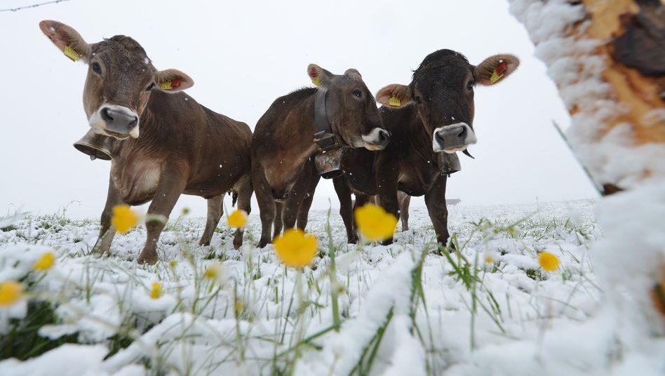 Brrr: Kühe und Dotterblumen im Schnee bei Oberstaufen im Allgäu
