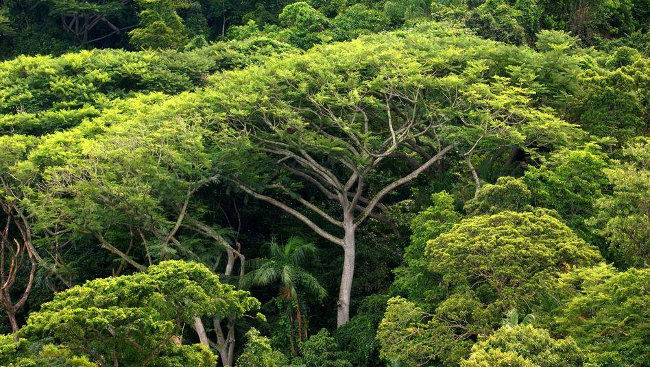 Laut Schätzungen binden die Regenwälder etwa 250 Milliarden Tonnen CO2
