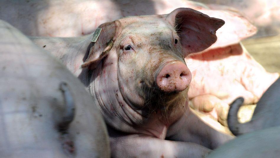 Schweinemast in Wehnen: Kritik an Schlachtungen im Akkord