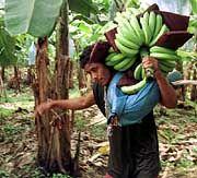 Lecker Bananen: Auf dem Markt immer neue Überraschungen