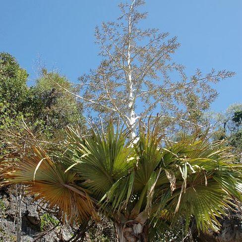 Tahina-Palmen: Nach hundert Jahren tragen sie zum ersten Mal Blüten, danach gehen sie zugrunde