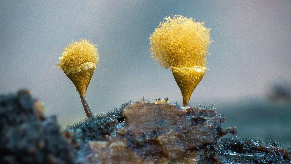 Schlauchpilz, Ästiger Stachelbart und Grünspanbecherlinge: Faszinierende Organismen