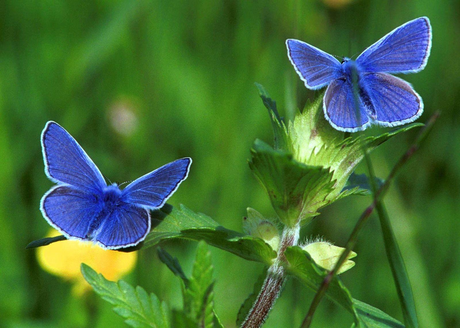 Schmetterlingsverschwinden/ Bläulinge