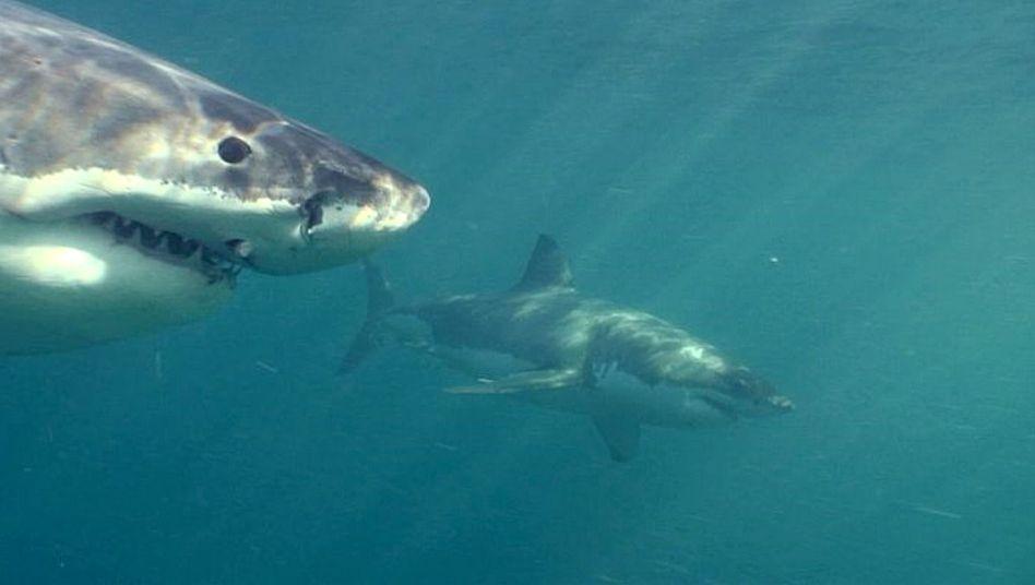 Haie Neuseeland