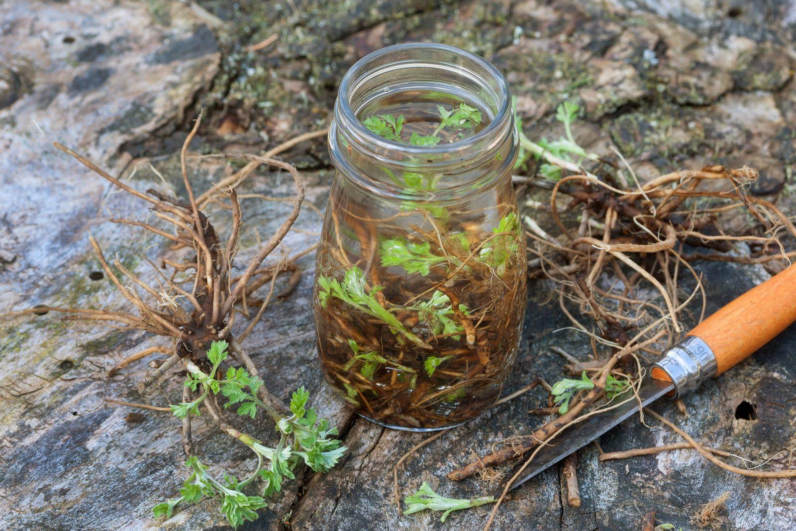 Gemeiner Beifuss, Gewoehnlicher Beifuss, Beifuss (Artemisia vulgaris), geerntete Beifusswurzeln, Ansatz einer Wurzeltink