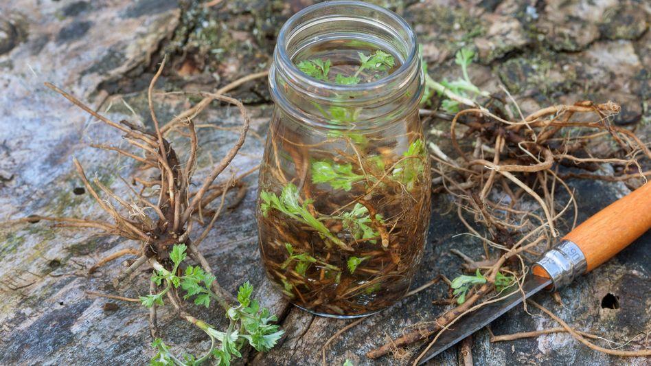 Gemeiner Beifuß ist ein bewährtes Hausmittel in Deutschland: Die Forscher nutzen jedoch spezielle Züchtungen der Pflanze für ihre Versuche.