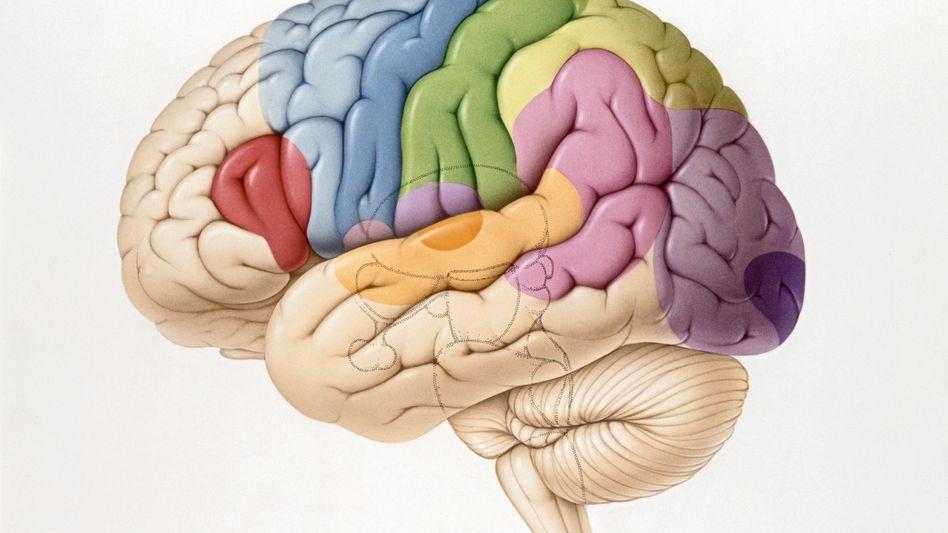 Hirnareale: Gefühl für Gerechtigkeit sitzt im Striatum und im präfrontalen Cortex