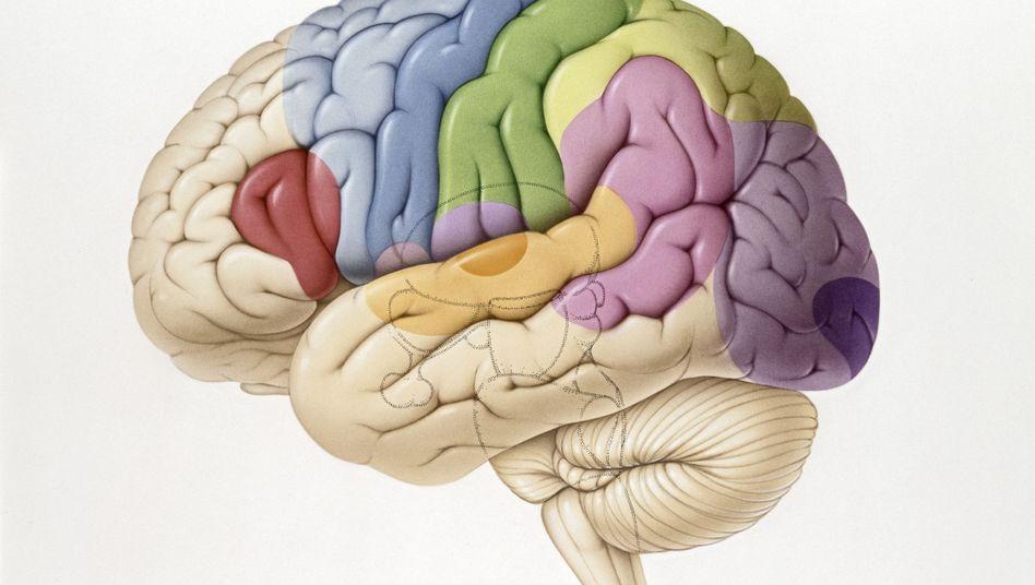 """Gehirn (Zeichnung): """"Jede Art, das Gehirn zum Arbeiten zu bringen, ist eine gute Sache"""""""