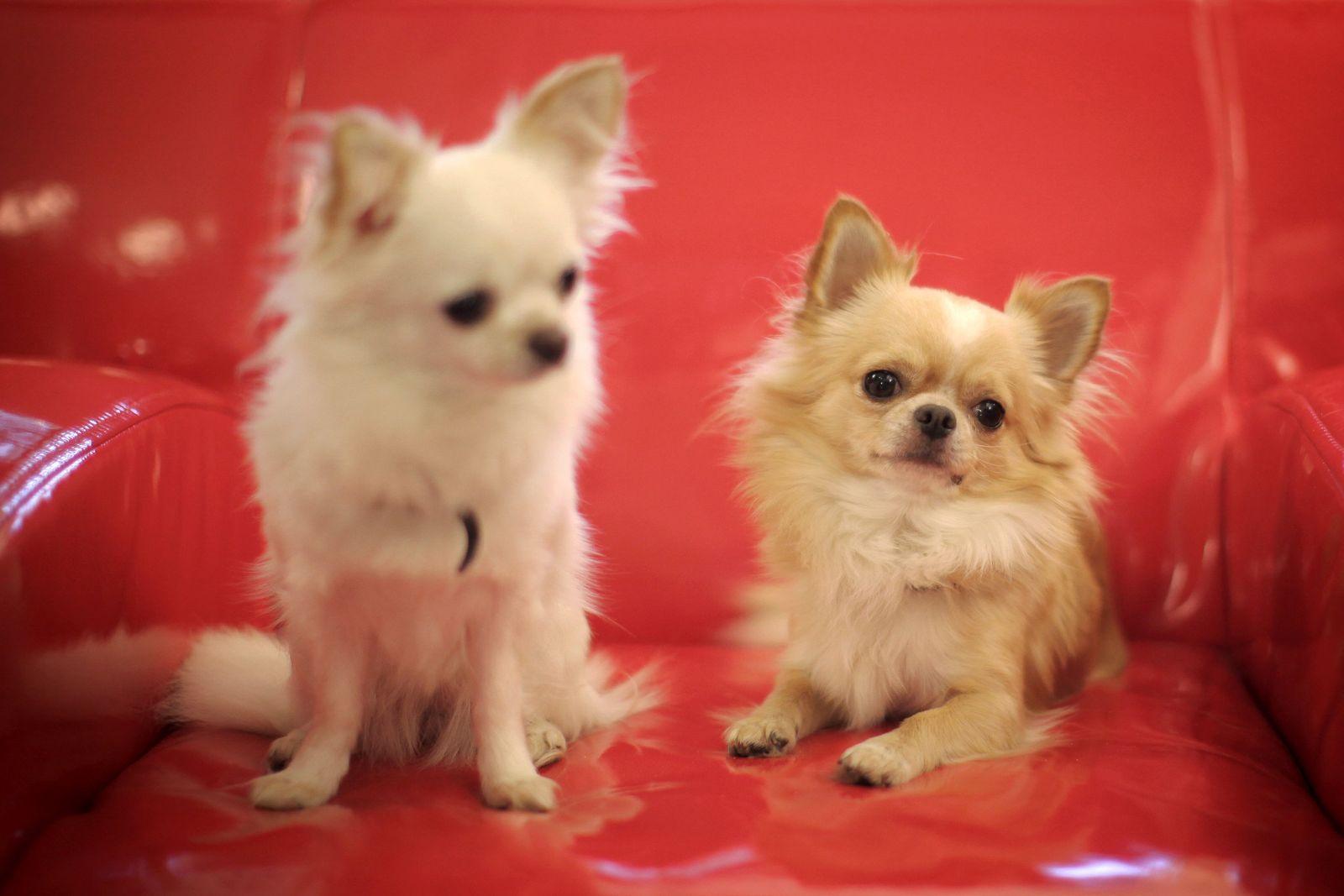 KaSP Kanzlei für Tierrecht / Chihuahua