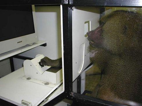 Pavian-Experiment: Links oder rechts neben Fotos leuchtete eine Taste - an die sich die Tiere erinnern mussten
