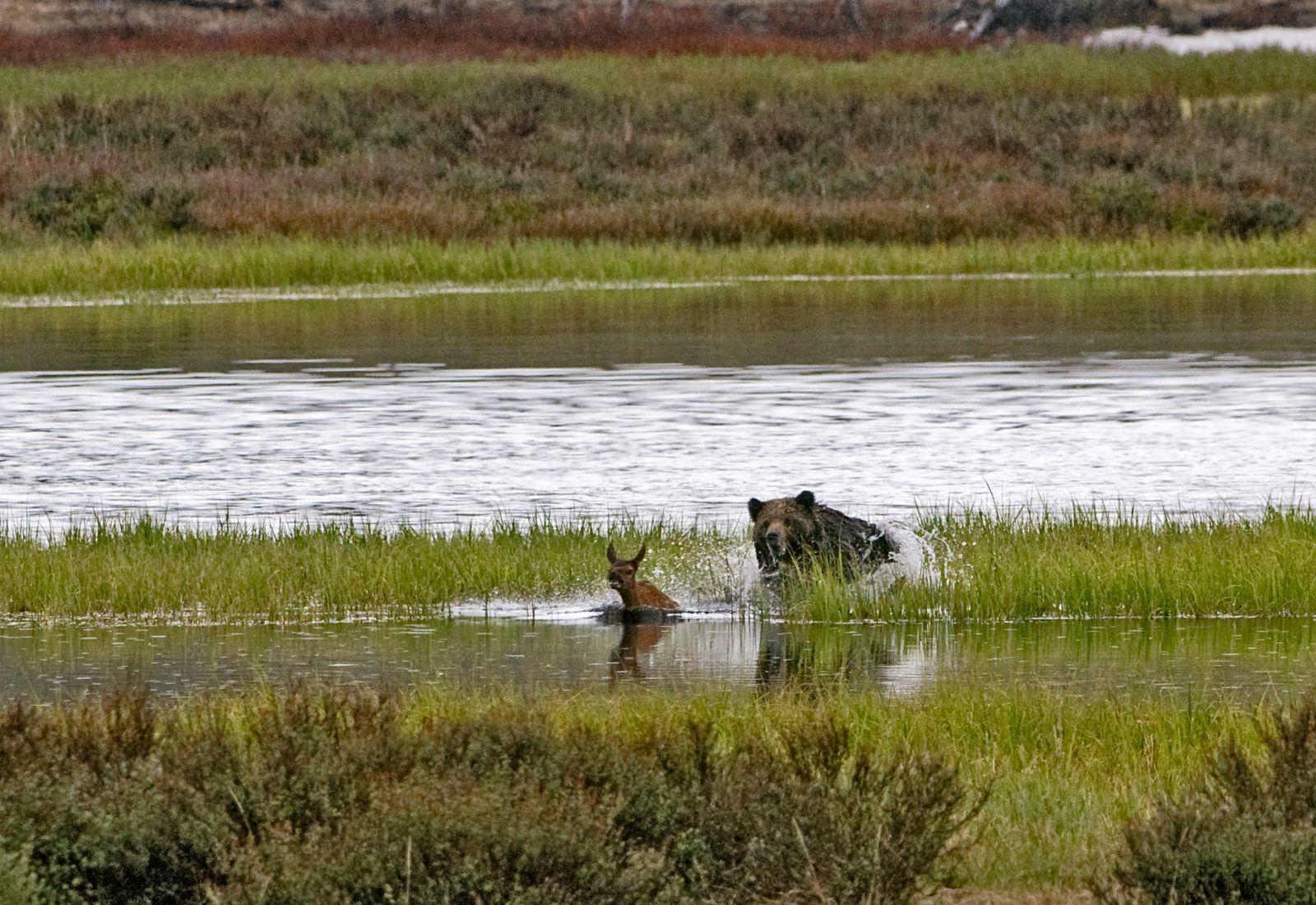 EINMALIGE VERWENDUNG Grizzly Bär jagt Elch-Kalb