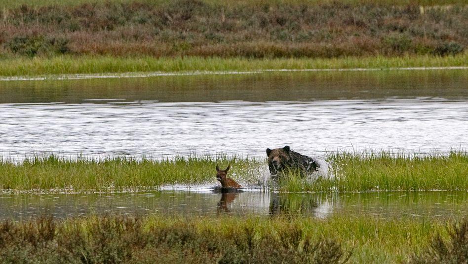 Grizzly auf Wapiti-Jagd: Alternative zum Forellenfang