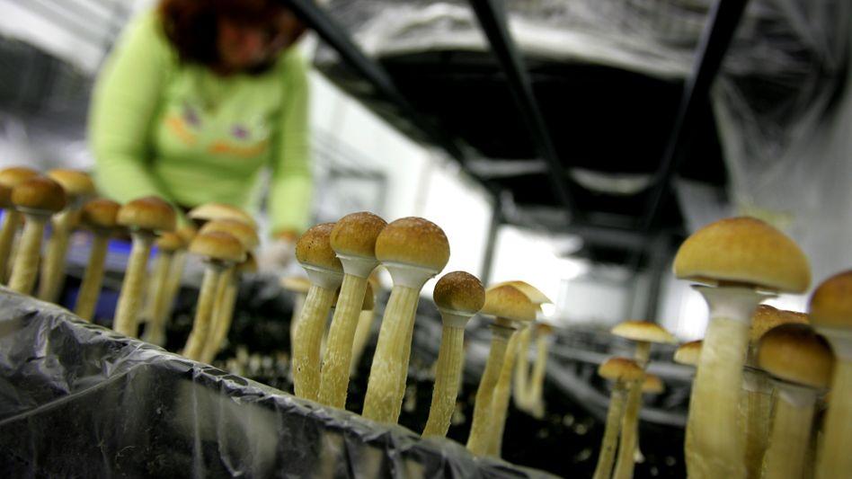 Magic Mushrooms in den Niederlanden (2007): Illegal, selbst zu Forschungszwecken
