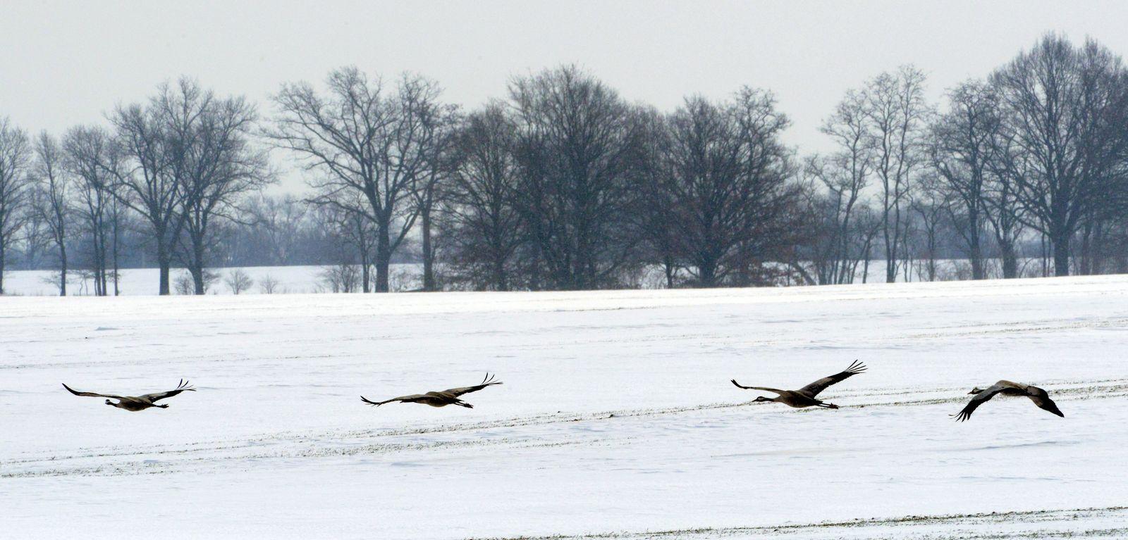 Zugvögel / Schnee