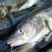 Gefangener Dorsch im Hafen von Rostock-Warnemünde: Wer sorglos an den Fischkauf herangeht, muss damit rechnen, Diebesgut auf dem Teller zu haben