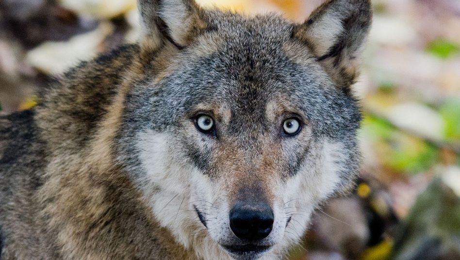 Wolf in Niedersachsen (Symbolfoto): Diskussion um auffällige Tiere