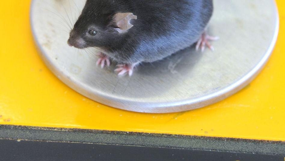 Übergewichtige Maus (Archivbild): Hormone oder Licht als Ursache?