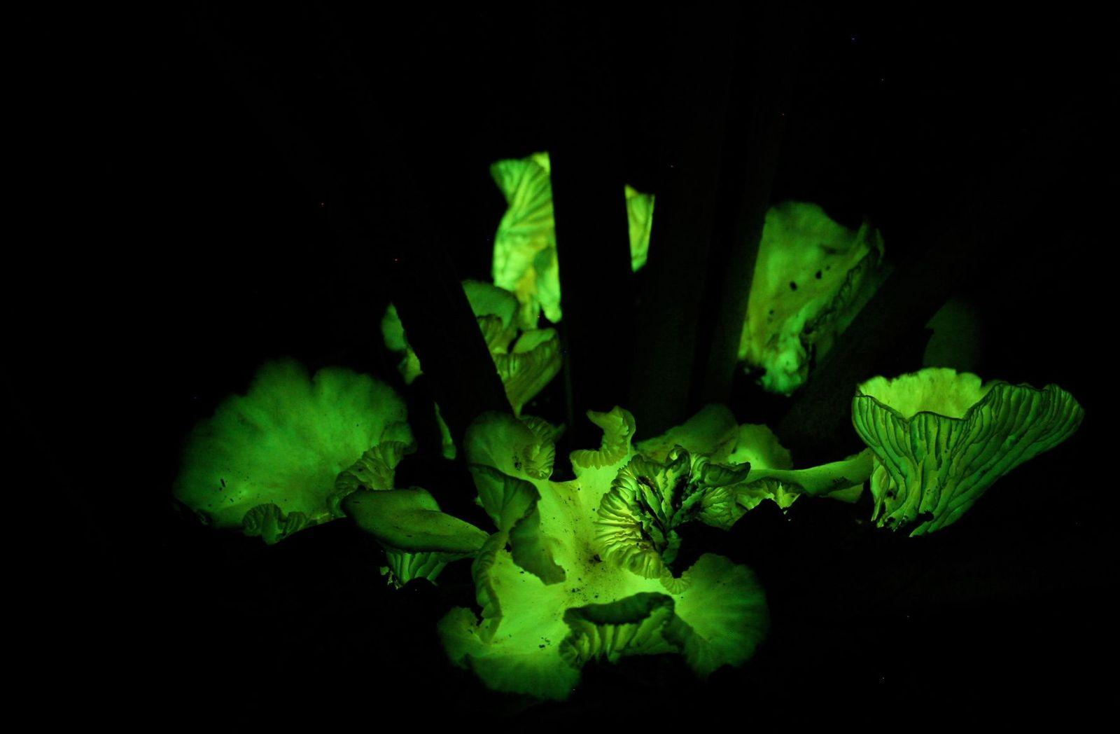 EINMALIGE VERWENDUNG Leuchtende Pilze