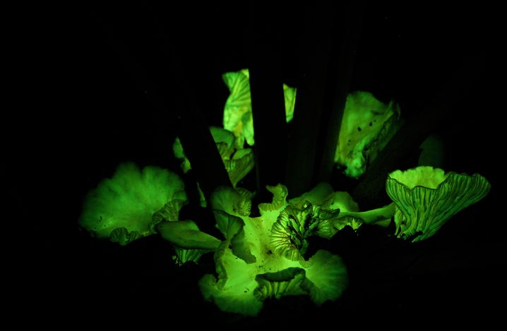 Neonothopanus gardneri - der Leuchtpilz bei Nacht