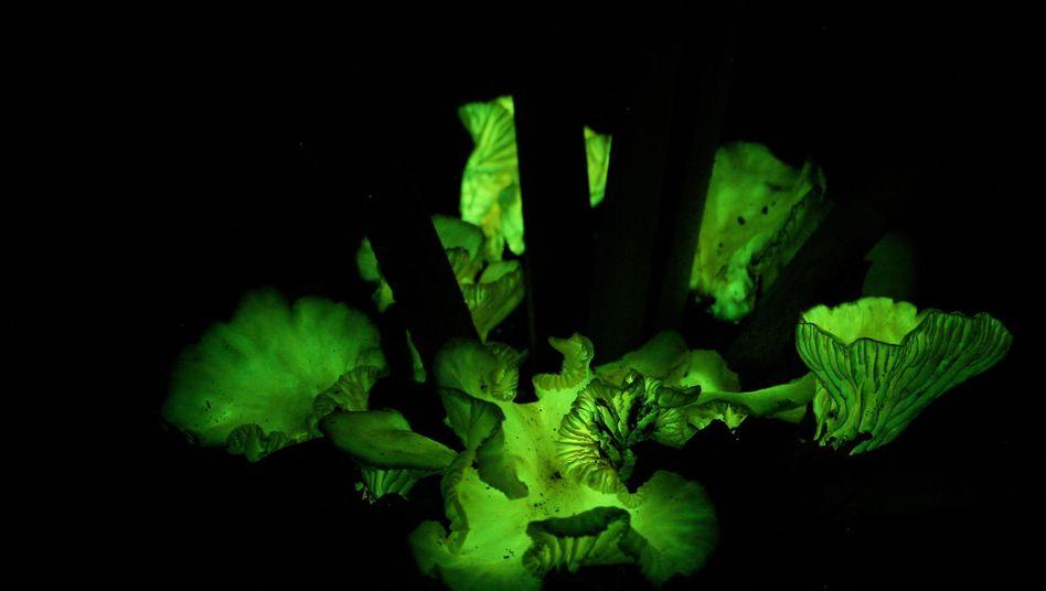 Biolumineszenz: Das Licht soll Insekten anlocken