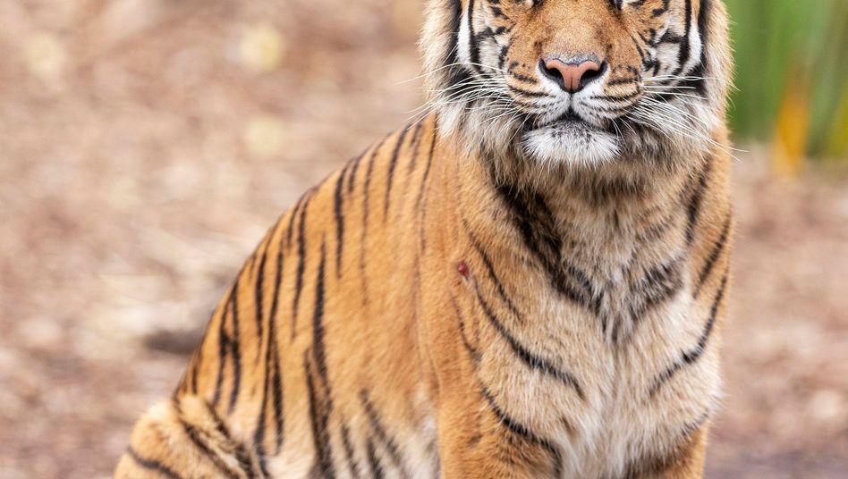 Sumatra-Tiger in einem Zoo: Vor rund 15 Jahren lebten in Indien nur noch 1400 Tiger
