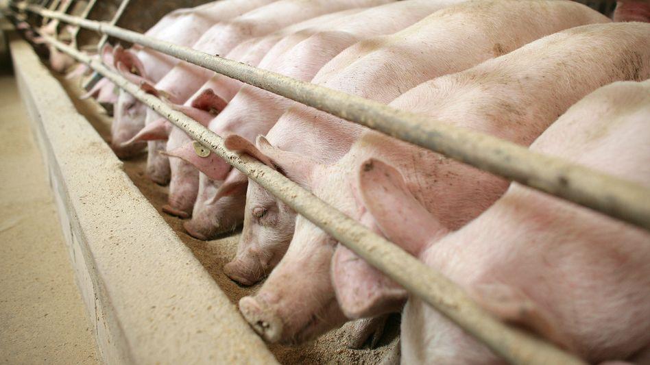 Schweine am Futtertrog im Stall eines Mastbetriebes (Archiv)