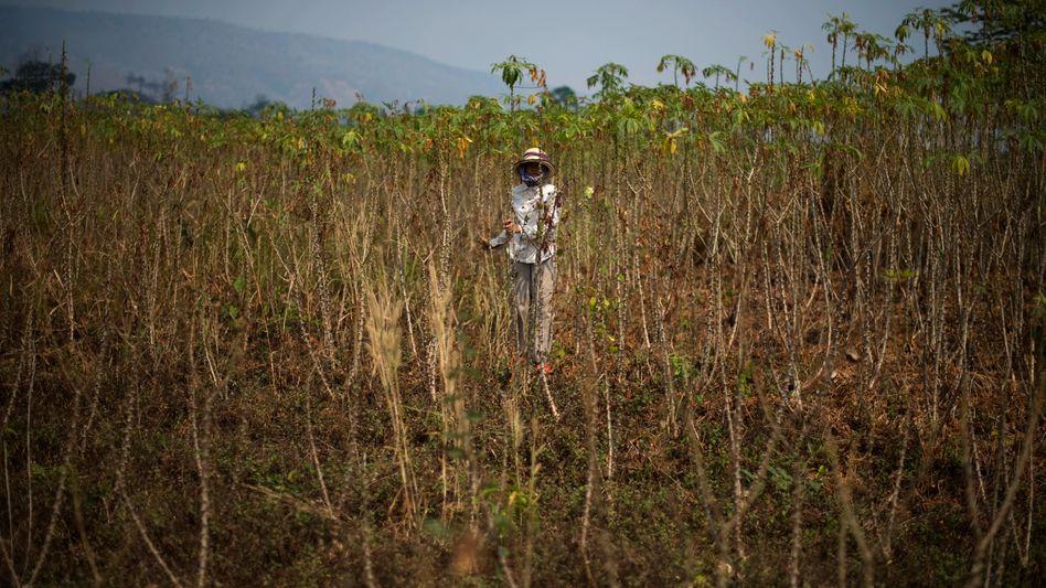 Angst vor der Überschuldung: Eine Frau aus Kambodscha steht in einem Maniok-Feld