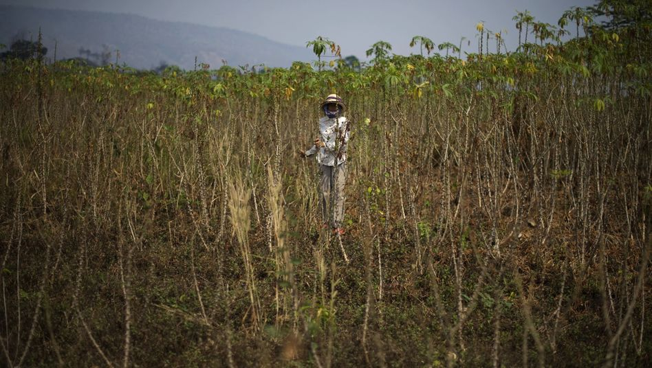 A woman stands in a field of cassava roots in western Cambodia.