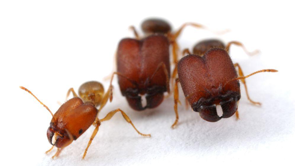 Ameisen: Supersoldaten dank Hormon