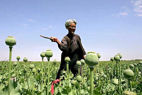 An Afghan laborer destroys poppies