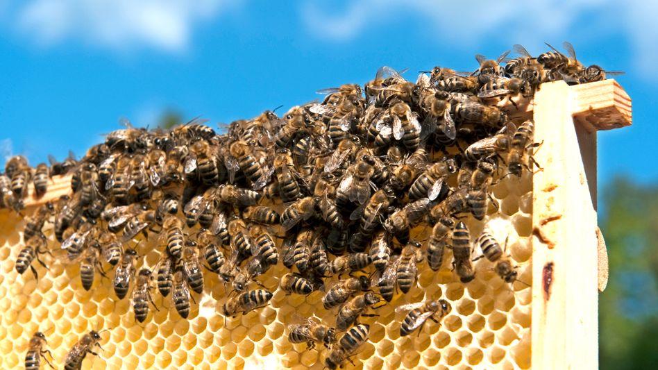 Bienen auf einer Honigwabe: Schlappe für Agrarindustrie
